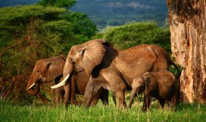 Lake Manyara National Elephants